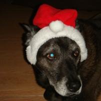 Christa Wojo's dog Roscoe in Santa hat.